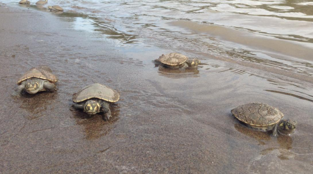 Baby turtles get released into the ocean by Conservation volunteers in the Amazon Rainforest